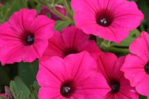 Skye's Blooms  Flower Essences